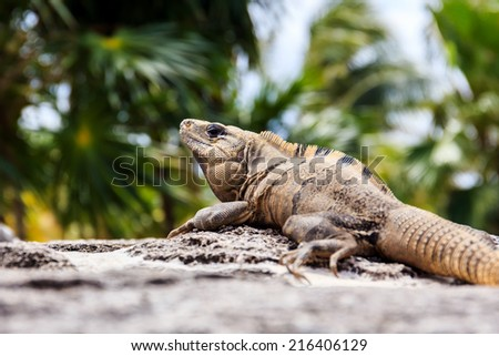 Mexican Iguana resting on a rock in Playacar, Mexico