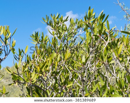 Mexican jumping bean, Sebastiania bilocularis, contains sap used by native desert people to poison arrows - stock photo