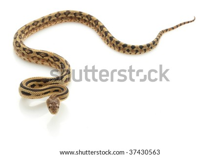 Mexican Lined Gopher Snake (Pituophis lineaticollis) isolated on white background.