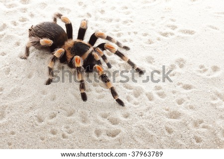 Mexican red knee tarantula crawling on sand