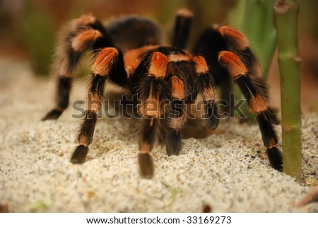 Mexican red kneed tarantula - brachypelma smithii on standing on sand.
