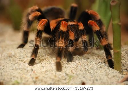 Mexican red kneed tarantula - brachypelma smithii on standing on sand. - stock photo