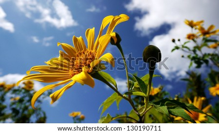 Mexican Sunflower on a Clear Day - stock photo