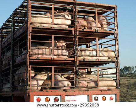 Mexican swine on their way to market in the spring of 2009, about 30 kms north of Mexico City.  Is this where the HINI flu started or can it be traced back to the 1918 pandemic? - stock photo