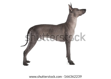 Mexican xoloitzcuintle male dog isolated on white   - stock photo