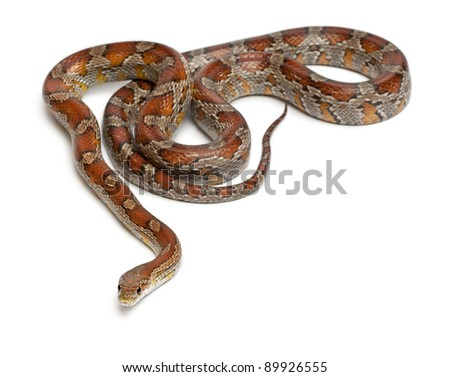 Miami Corn Snake or Red Rat Snake, Pantherophis guttatus, in front of white background - stock photo