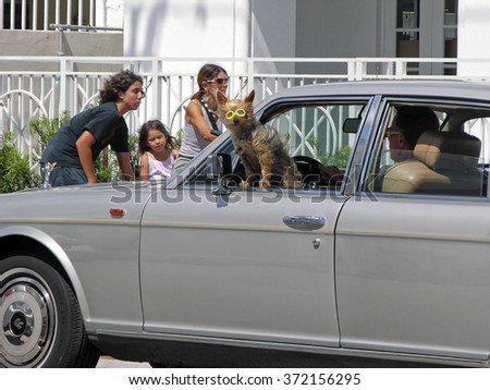 Miami, Florida, USA - May 28, 2007: A man runs in the car with her Yorkshire leaning out a window. The dog wears a funny pair of glasses, which make it very entertaining to our eyes.