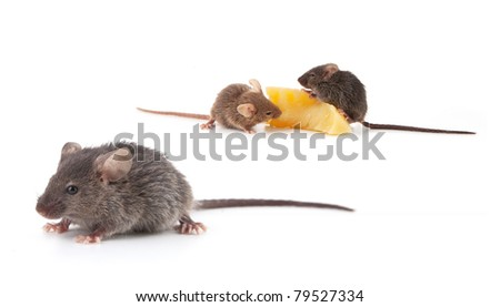 Mice and cheese isolated on a white background - stock photo