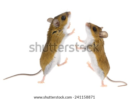 Mice playing & Dancing - Brown Deer Mouse climbing - stock photo