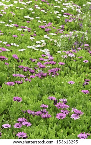 Michaelmas daisies (botanical name: Aster novi-belgii or Symphyotrichum novi-belgii), also known as New York asters, in garden flowerbed, September in northern Illinois (foreground focus) - stock photo