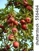 Michigan Apples on the Tree in Fall - stock photo