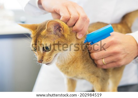 Microchip implant for cat by Veterinarian - stock photo