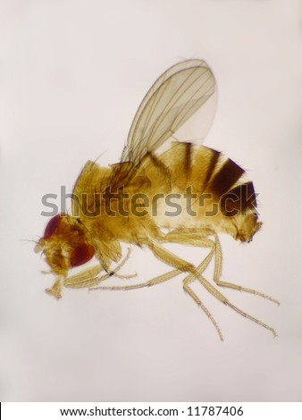 Microscopic Educational.  A female Drosophila melanogaster (fruit fly), whole mount. - stock photo