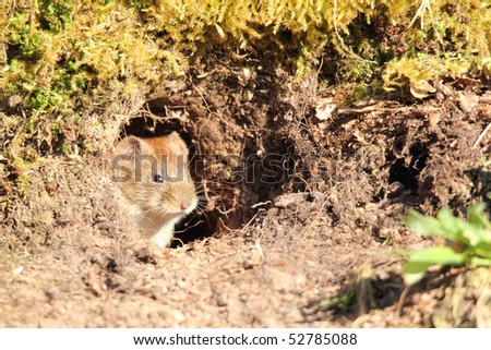 Microtus  arvalis in her hole - stock photo