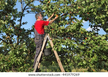 Mid adult farmer at ladder picking apricot fruit from tree in orchard - stock photo