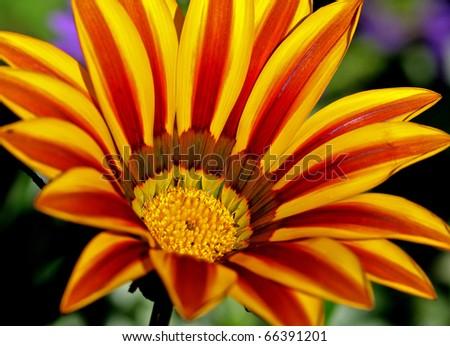 midday flower, Gazanie, Gazania - stock photo