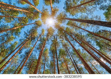 Midday Sun in Bright Pine Forest - stock photo