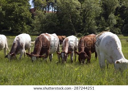 MIDDELFART, DENMARK - JUNE 9: A herd of cows, on green pasture farmland, in rural Funen, Denmark. On 9th June 2015. - stock photo