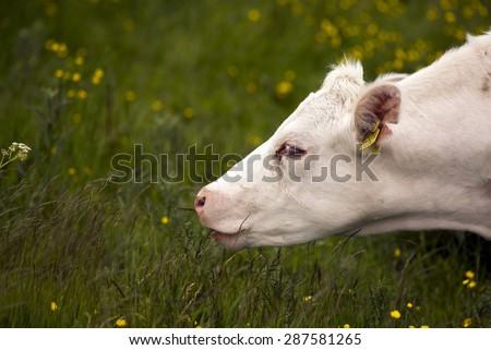 MIDDELFART, DENMARK - JUNE 7: A white cow eating on green pasture farmland, in rural Funen, Denmark. On 7th June 2015. - stock photo