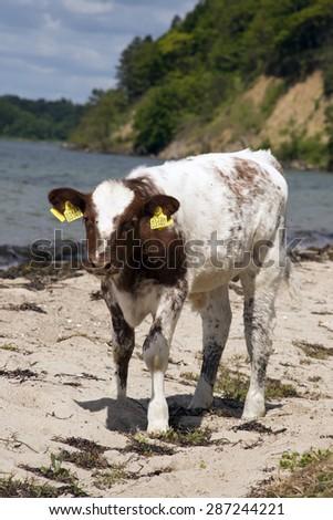 MIDDELFART, DENMARK - JUNE 4: Calf on the beach in rural Funen, Denmark. On 4th June 2015. - stock photo