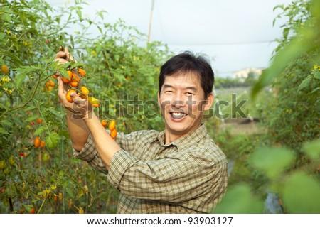 middle age asian farmer holding tomato on his farm - stock photo