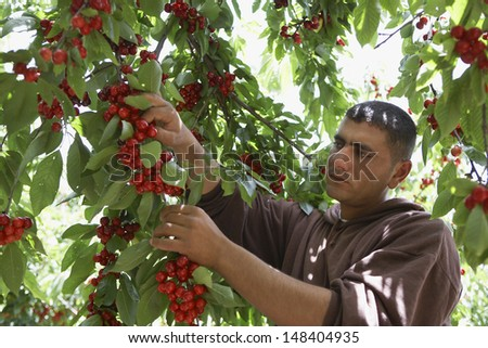 Middle aged man plucking fresh cherries from tree - stock photo