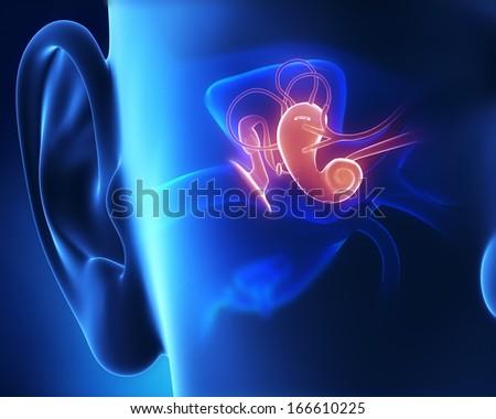 Middle ear anatomy - stock photo