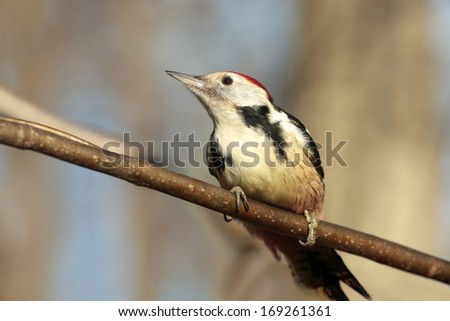 Middle Spotted Woodpecker (Dendrocopos medius) on a branch. - stock photo