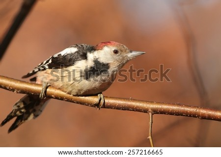 Middle Spotted Woodpecker (Dendrocopos medius) on a twig. - stock photo
