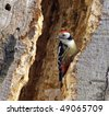 Middle spotted woodpecker on rotten, hollowed tree trunk - stock photo