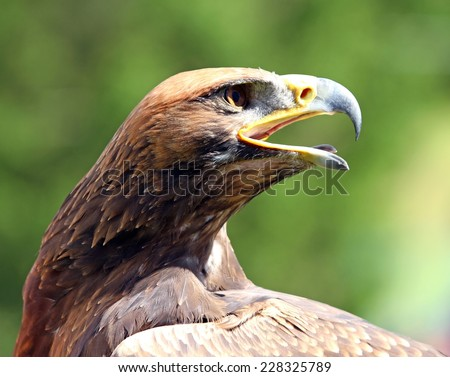 mighty Eagle with its beak wide open - stock photo