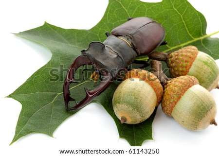Mighty fighter stag beetle and green acorn