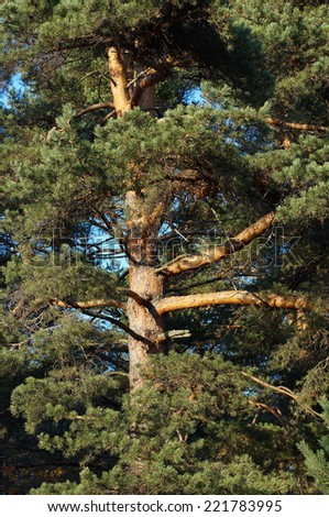 Mighty green pine close-up. Large tree trunk. - stock photo