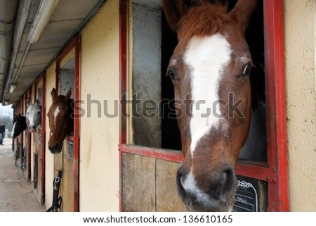 mighty horse stallions in the enclosure of a barn of a riding school - stock photo