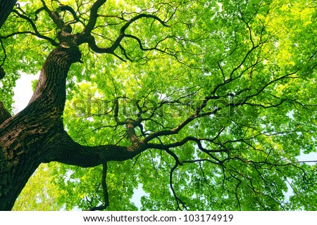 mighty old tree with green spring leaves - stock photo