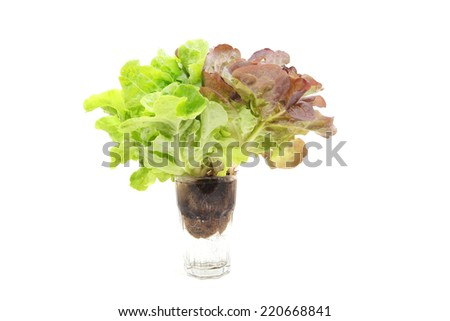 Mignonette Lettuce isolated over white background  - stock photo