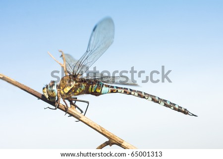 migrant hawker, male / Aeshna mixta - stock photo