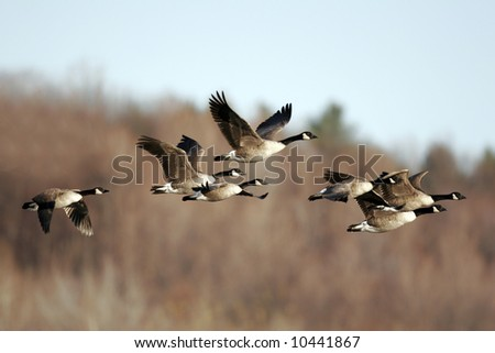 Migrating Canada Goose against a Fall Background - stock photo