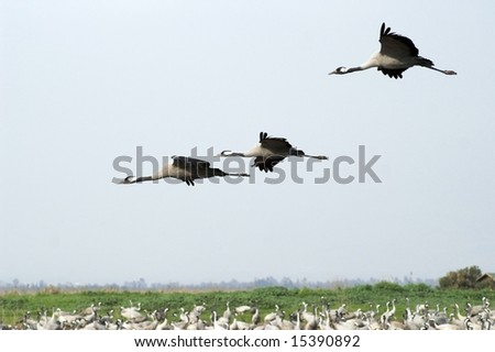 Migrating cranes over Hula lake reserve, Israel at spring on the way back to Europe
