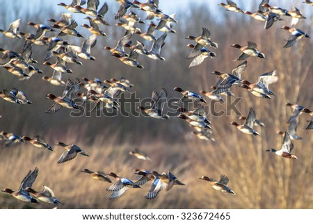 Migrating ducks are leaving for the southern hibernating areas in autumn and winter. - stock photo