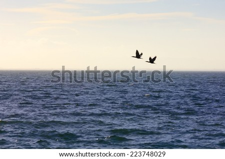 migrating ducks at sunset flying south