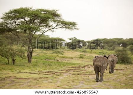Migrating elephants in the african savanna during rainy season - stock photo