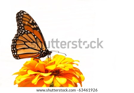 Migrating Monarch Butterfly has stopped to feed on an orange Zinnia to restore his energy, against light siding of a house - stock photo