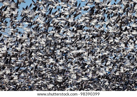 Migrating snow geese in flight - stock photo