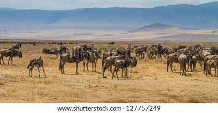 Migrating Wildebeest in Tanzania
