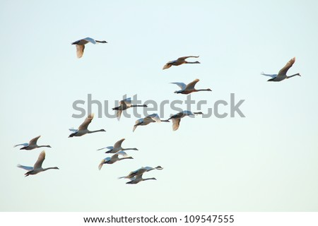 Migration birds swan on blue sky in Flight
