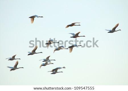 Migration birds swan on blue sky in Flight - stock photo