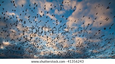 Migration of snow geese in Canada