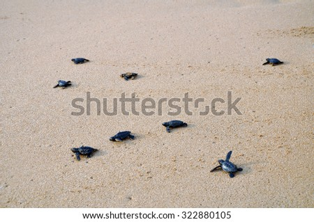 Migration of the small turtles - stock photo