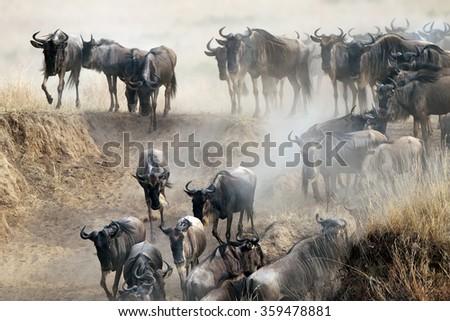 Migration of wildebeest  - stock photo